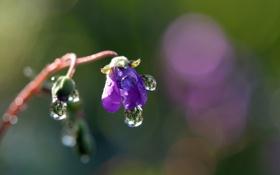 Обои цветок, капли, макро, синий, роса, фокус