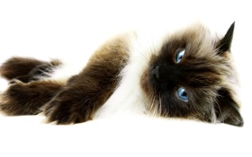 Обои фото, Кот, Животные, Сиамский