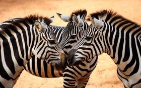 Обои взгляд, зебра, грива, копыта