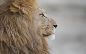 Картинка кошка, хищник, лев, грива