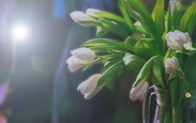 Обои зелень, макро, цветы, тюльпаны, блик, красивые, белые тюльпаны