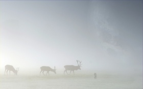 Обои ёжик в тумане, лоси, трава, туман, пейзажи, олени, животные