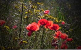 Обои трава, маки, луг, поле, свет, вечер, цветы
