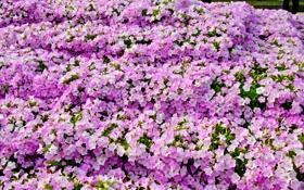Обои Много, Петунья, Цветы, фото