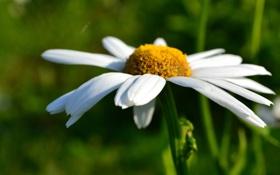 Картинка поле, белый, цветок, лето, макро, цветы, желтый