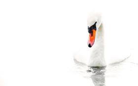 Обои вода, белый фон, лебедь, water, Swan, white background