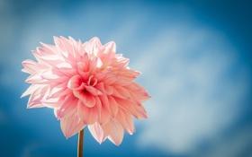 Картинка цветок, розовый, голубой фон, георгин