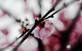Обои капли, цветы, ветки, природа, растения, лепестки, розовые