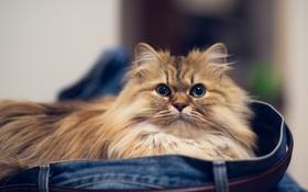 Обои кошка, джинсы, Daisy, Ben Torode, Benjamin Torode, морочка