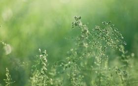 Обои зелень, трава, природа, роса, размытость, колоски, зеленые