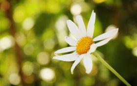 Картинка цветок, цветы, зеленый, фон, widescreen, обои, ромашка