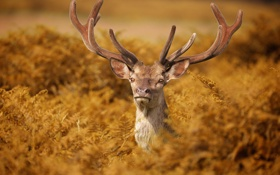 Картинка олень, рога, папоротник