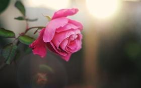 Обои роза, цветок, лепестки