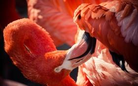 Картинка животные, птицы, розовый, перья, окрас, фламинго