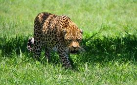 Обои хищник, луг, леопард, leopard, пятнистая кошка