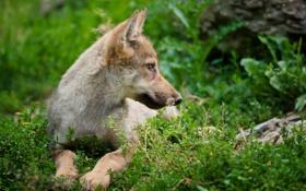 Обои волчонок, лес, профиль, трава, лежит