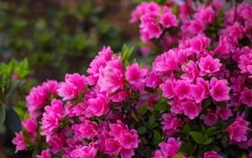 Обои куст, цветение, азалия