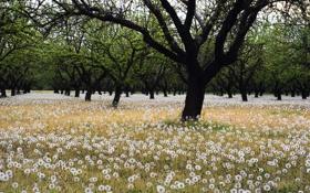 Обои поле, деревья, одуванчики