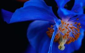 Обои цветок, природа, мак, лепестки, тычинки