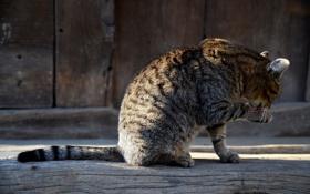 Картинка кот, серый, в полоску, сидит, умывается