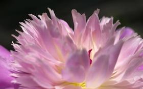 Картинка цветок, макро, розовый, пион