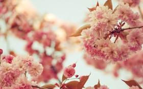 Обои цветы, дерево, розовые цветы