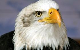 Картинка птица, орел, голова
