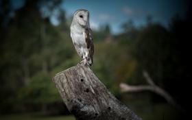 Картинка сова, птица, бревно, сипуха