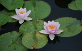 Обои листья, вода, пруд, лотос, круглые, розовые, кувшинки