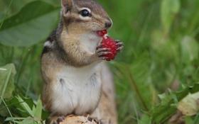 Картинка малина, ягода, бурундук