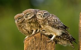 Обои птицы, природа, совы