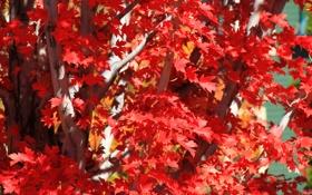 Обои листья, осень, ветки, деревья, багрянец