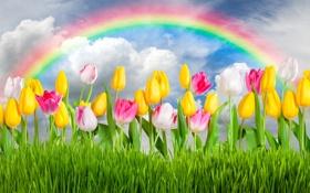 Картинка цветы, весна, colorful, тюльпаны, rainbow, grass, sunshine