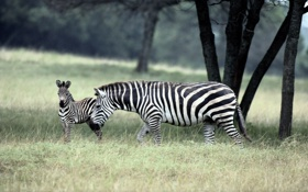 Обои семейство, зебры, zebra
