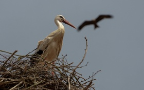 Обои птица, гнездо, аист