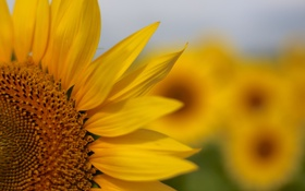 Обои цветок, поле, лепестки, подсолнух