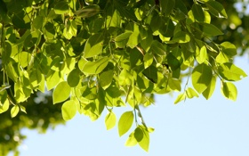 Обои листья, природа, фон, дерево, обои