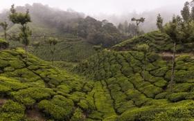 Обои деревья, горы, туман, чай, Индия, плантация, Керала