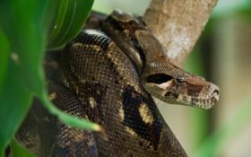 Картинка змея, Коста-Рика, анаконда