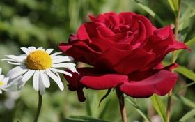 Обои роза, лепестки, ромашка, дуэт