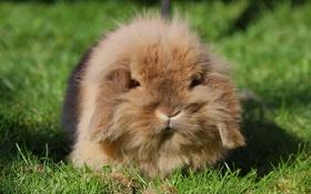 Картинка трава, шерсть, кролик, уши