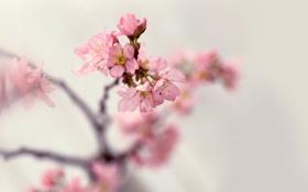 Картинка весна, ветки, розовые, цветение, лепестки, размытость, природа