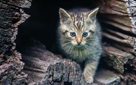 Картинка котёнок, дикая кошка, дупло
