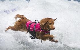 Обои собака, волна, вода