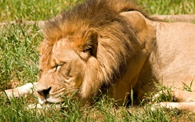 Обои кошка, трава, морда, солнце, отдых, сон, лев