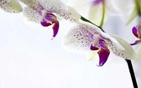 Картинка цветы, белая, орхидея, фаленопсис