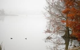 Картинка осень, туман, озеро, пруд, дерево, утка
