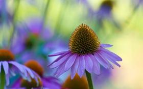 Обои природа, эхинацея, лепестки, цветок