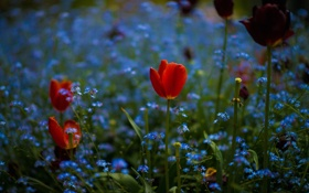 Обои поле, цветы, тюльпан, весна, луг