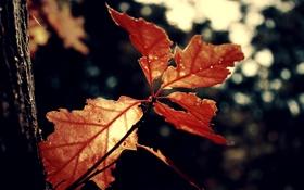 Обои leaf, nature, leaves, red